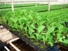 Выращивание рассады ранней капусты